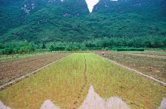 Rice field. It is a rice field in china, the field with footprints and worker Royalty Free Stock Image