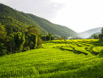 Rice Field. Green step rice on the mountain Royalty Free Stock Photography