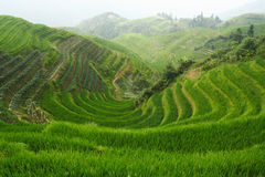 Rice field Stock Photo
