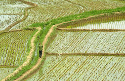 Rice field. This is a typical Asian landscape Royalty Free Stock Image