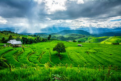 Free Rice Field Royalty Free Stock Image - 45491356