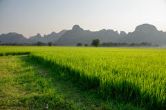 Free Rice Field Stock Images - 45732284