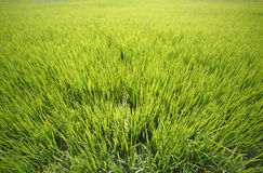 Rice field. A green rice field in wide angle royalty free stock photos