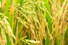 Rice Field Stock Image
