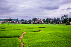 Free Rice Field Stock Photography - 58656392