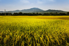 Free Rice Field Royalty Free Stock Photos - 61607948