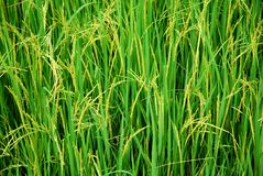 Rice field. Close up of rice field with ears of paddies backgound Royalty Free Stock Photo