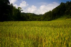 Rice field. In the northern thailand with farmer hut Royalty Free Stock Photo