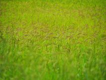 Rice Field. Rice in Field Royalty Free Stock Images
