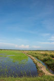 Rice field. Beautiful rice field or padi field with blue sky Royalty Free Stock Image