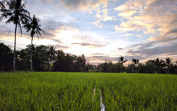 Free Rice Field Royalty Free Stock Images - 92915879