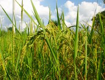 Rice field. Close-up of wide rice field royalty free stock photography