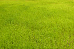 Rice field. Landscape rural in Cambodia Stock Photography