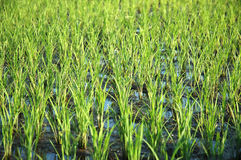 Rice field. Young rice field Royalty Free Stock Images