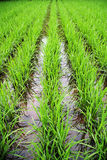 Rice field. Spring has come, is the farming season, Rows of rice on a wet rice field Royalty Free Stock Photography