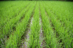 Free Rice Field Stock Photography - 9496782