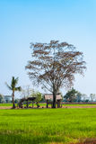 Rice Field with Abandoned Farmer Shelter and Big Tree Royalty Free Stock Photography