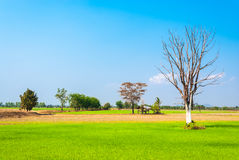 Rice Field with Abandoned Small Shelter and Big Tree Royalty Free Stock Photo