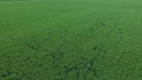 Rice field stock video