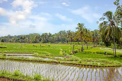Rice field agricultural landscape in the countryside from Java Indonesia Stock Photography