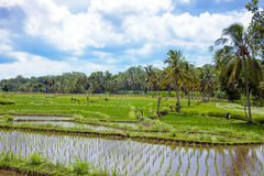 Rice field agricultural landscape in the countryside from Java Indonesia Royalty Free Stock Photos