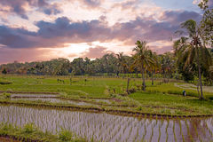 Rice field agricultural landscape in the countryside from Java Indonesia Stock Photo