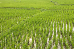 Rice Field Agriculture concept Stock Photography
