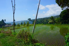 Rice field. Agriculture of Lombok island Stock Photography