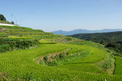 Rice field. Agriculture Royalty Free Stock Image