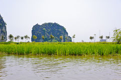Rice field along river Royalty Free Stock Images