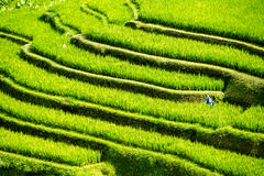 Rice field arabesque. Rice field curves and sparkling green color Stock Photo
