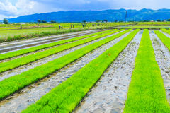 Rice field as the agriculture Royalty Free Stock Photography