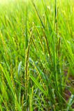 A rice field Stock Photo