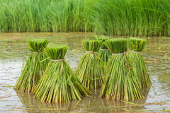 Rice field, Asia paddy field. In raining day Royalty Free Stock Photo