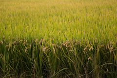Rice field in the autumn Stock Photos