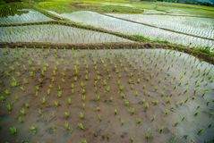 Rice field Autumn view natural background Stock Images