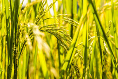 Rice. Field in autumn of Thailand Stock Photo