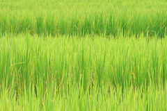 Rice field background Stock Photo