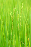 Rice field background Stock Photography