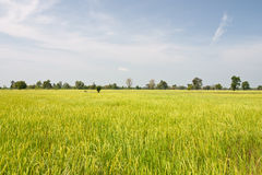 Rice field background Royalty Free Stock Photo