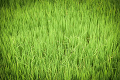 Rice field background Royalty Free Stock Photos