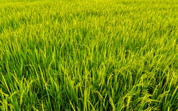 Rice field background landscape. Rice field agriculture background landscape stock image