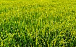 Rice field background landscape. Rice field agriculture background landscape Stock Image