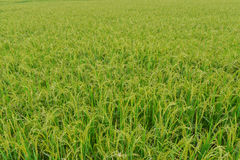 Rice field background landscape. Rice field agriculture background landscape stock photos