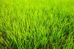 Rice field background landscape. Stock Photo