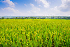Rice field background landscape. Stock Photos