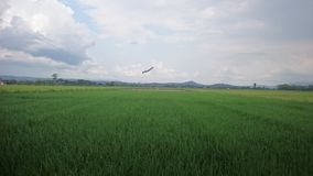Rice in the field background royalty free stock photos