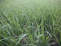 Rice in the field background royalty free stock photo