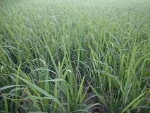 Rice in the field background stock photo