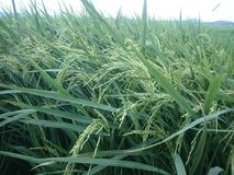 Rice in the field background royalty free stock image